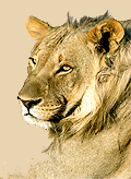 lion-head-2.jpg - 29454 Bytes